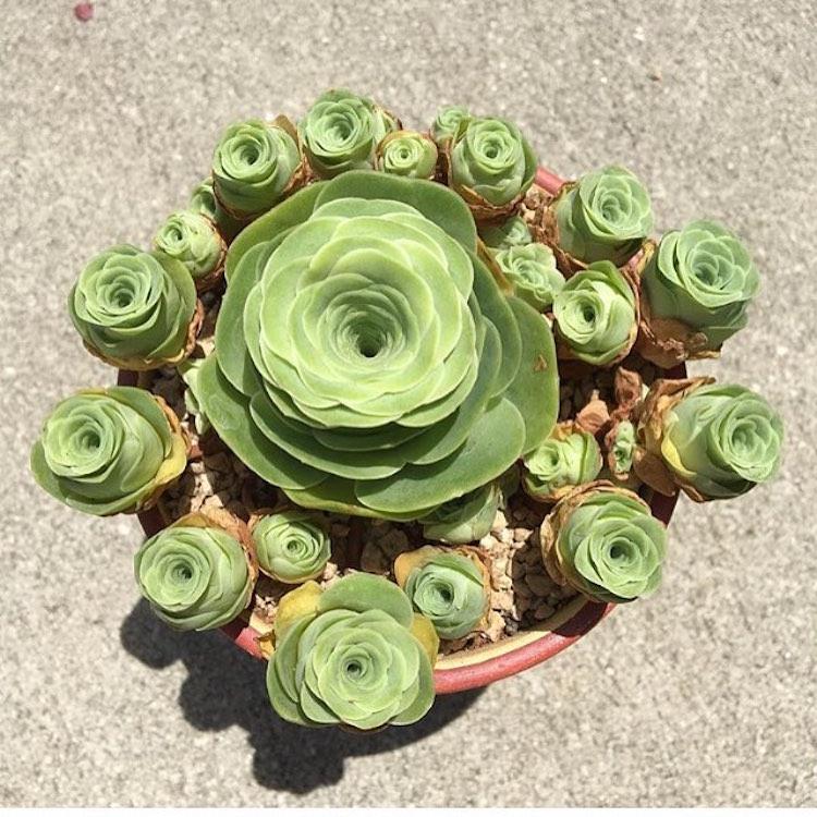 Greenovia Dodrentalis Rose Succulents