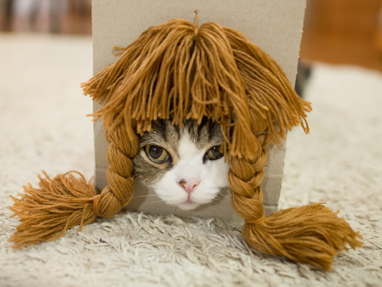 maru cat in a wig