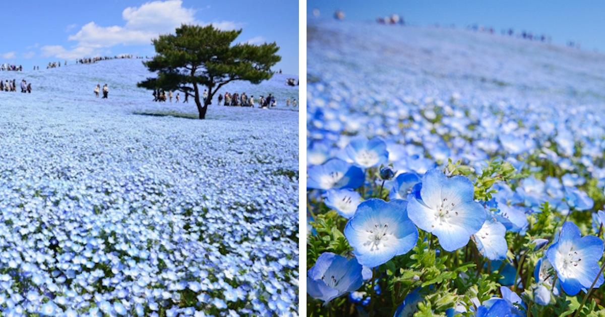 Nemophila Blooms At Japan S Hitachi Seaside Park
