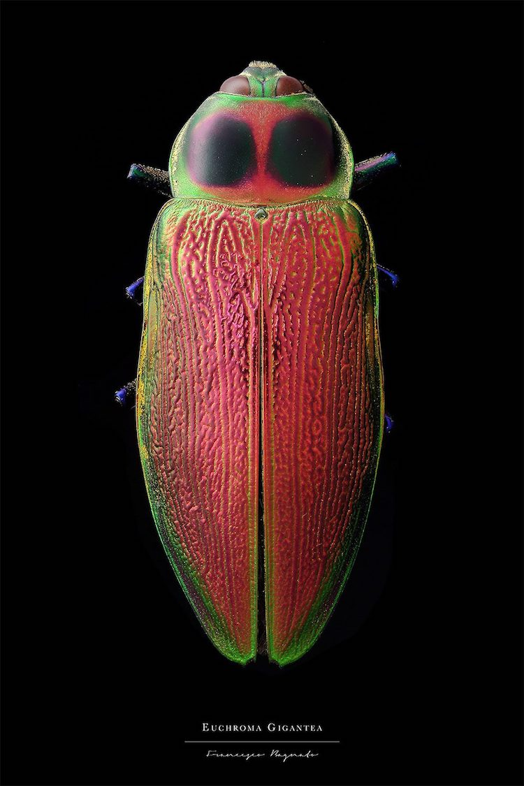 Colorful Insect Macro Photography By Francesco Bagnato - Amazing macro photography reveals hidden world