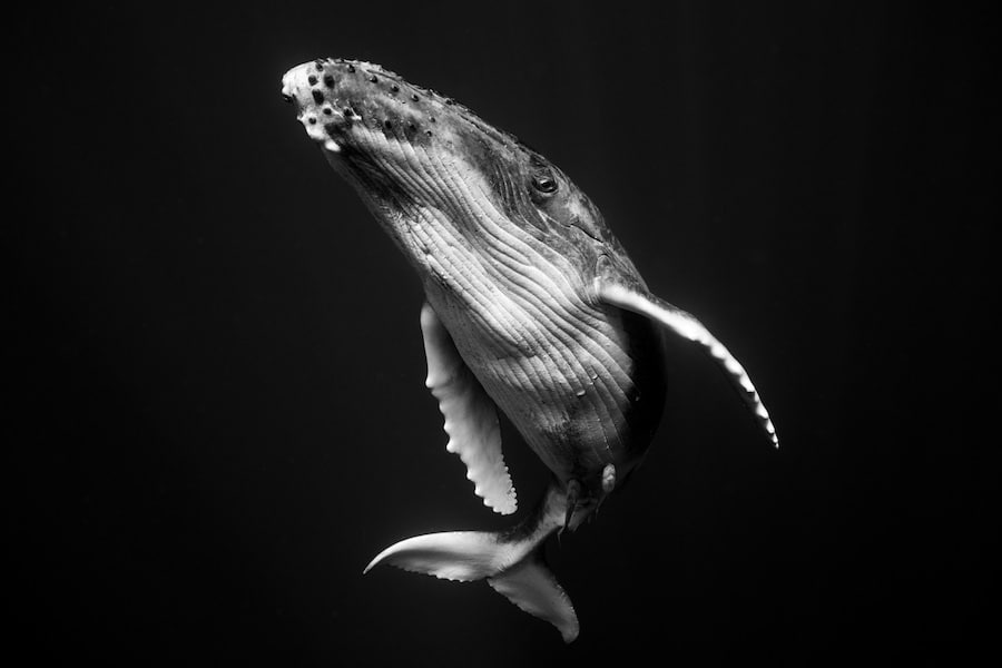 Humpback Whale Portraits Underwater Photography Jem Cresswell Giants Photographer Interview Black and White Photos