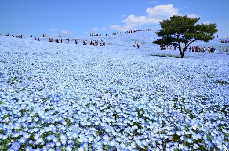 Nemophila Bloomachi Seaside Park Blue Flowers
