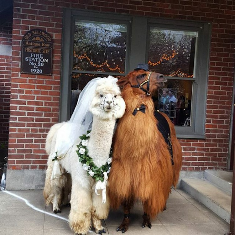 Wedding Llamas Mtn Peaks Therapy Llamas and Alpacas Llama Wedding Wedding Llamas Photography