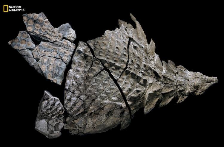 Nodosaur discovery national geographic