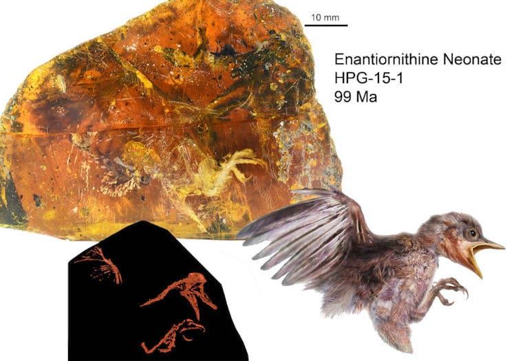 Enantiornithine bird Burmese amber myanmar