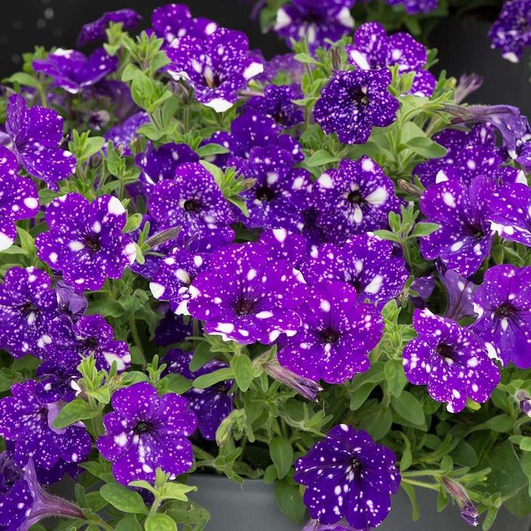 Night Sky Petunia Flowers Gardening