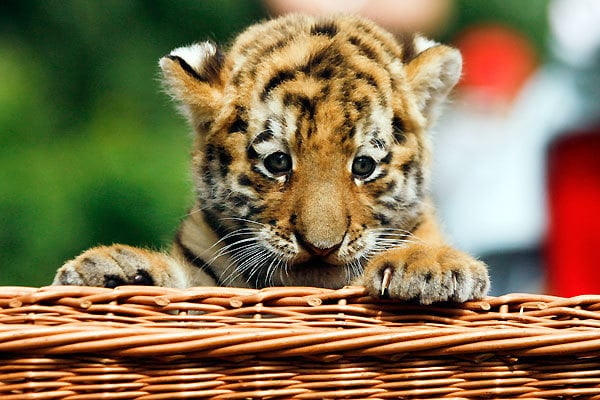 Hi-Def Pics - The Cutest Siberian Tiger Cub In the Whole ...