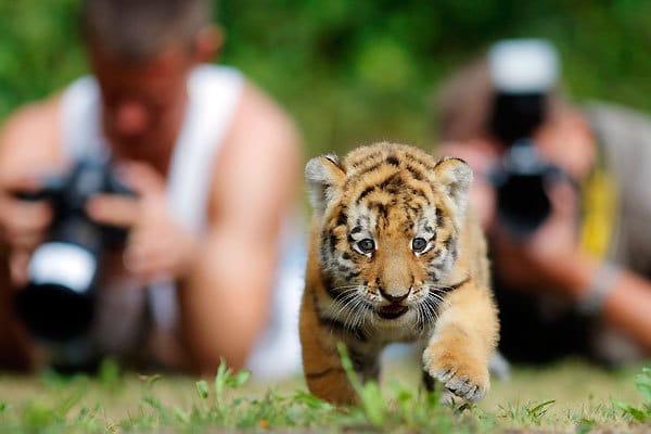 Hi-Def Pics - The Cutest Siberian Tiger Cub In the Whole ... Cute Siberian Tiger Cubs