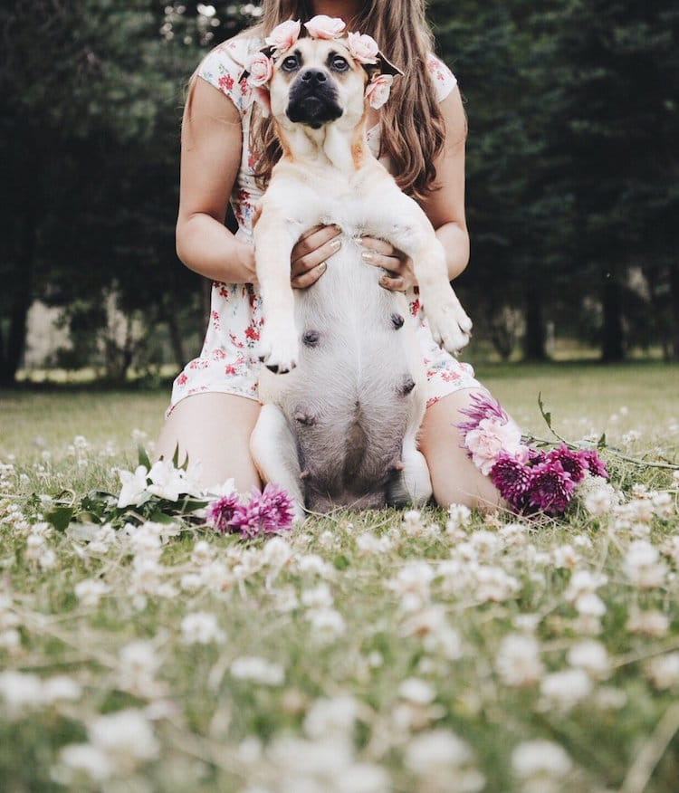 Dog Maternity Shoot Pregnant Dog Pug Mix