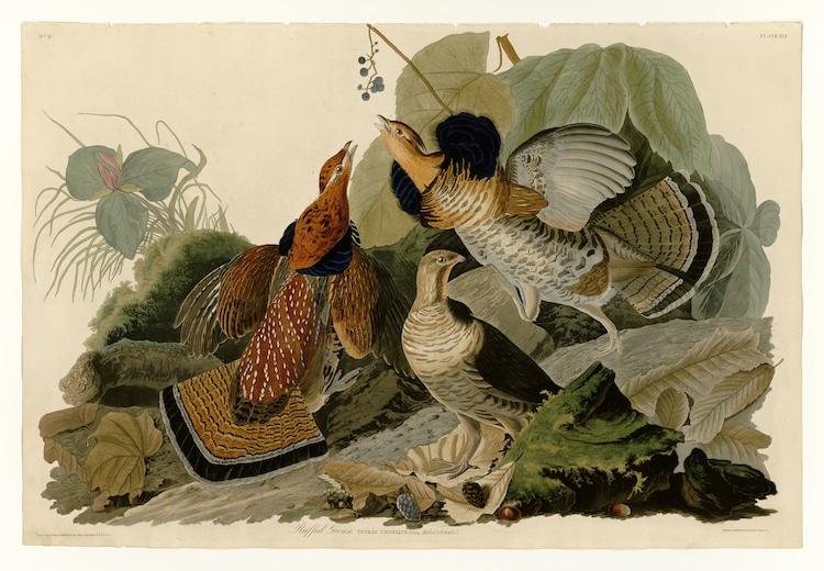 John James Audubon Bird Watercolor