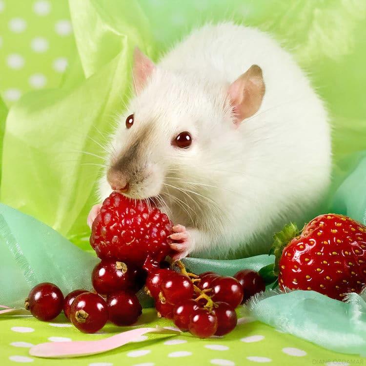 cute fancy rat photos