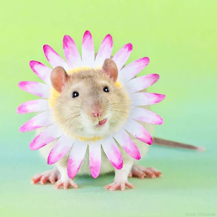 cute pet rat photos