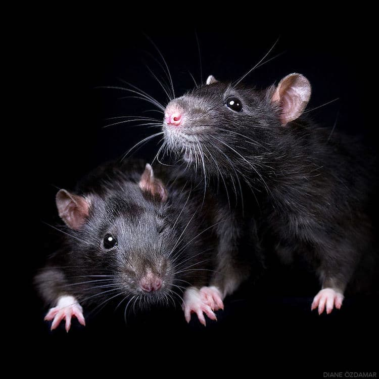 Cute Pet Rat Photos That Will Melt Your Heart By Diane 214 Zdamar