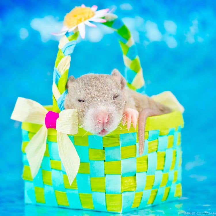adorable pet rat photography