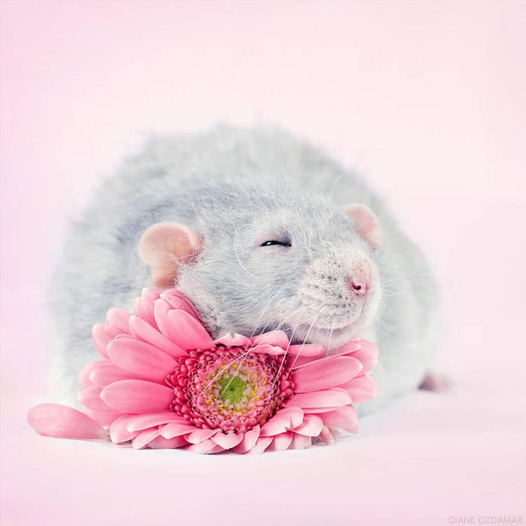 cute pet rat photos that will melt your heart by diane zdamar. Black Bedroom Furniture Sets. Home Design Ideas