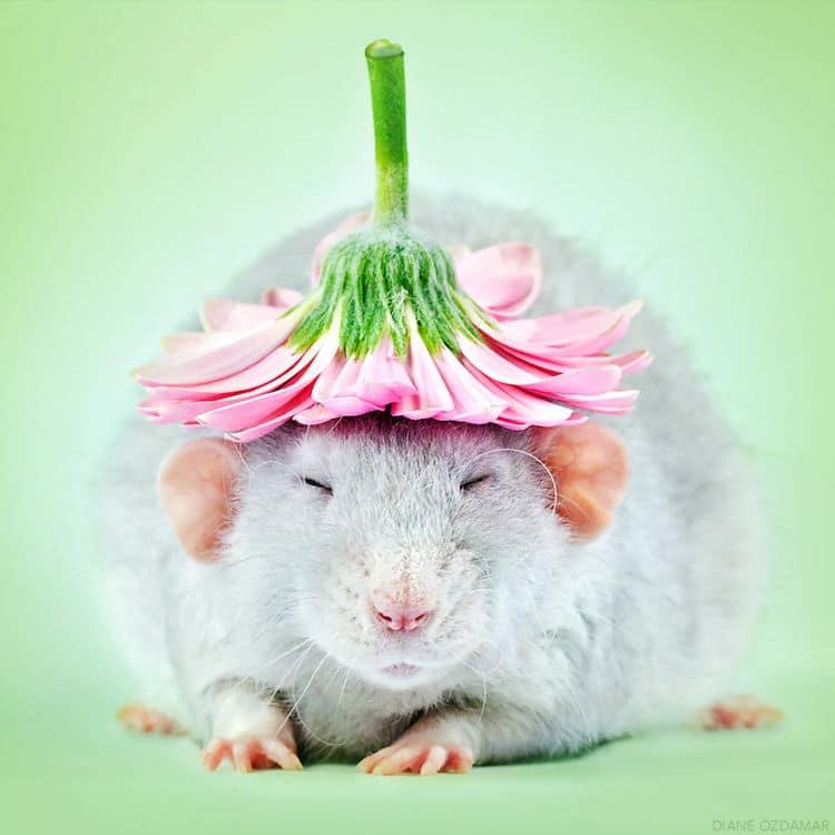 Floofy Rattie Wearing a Flower Hat