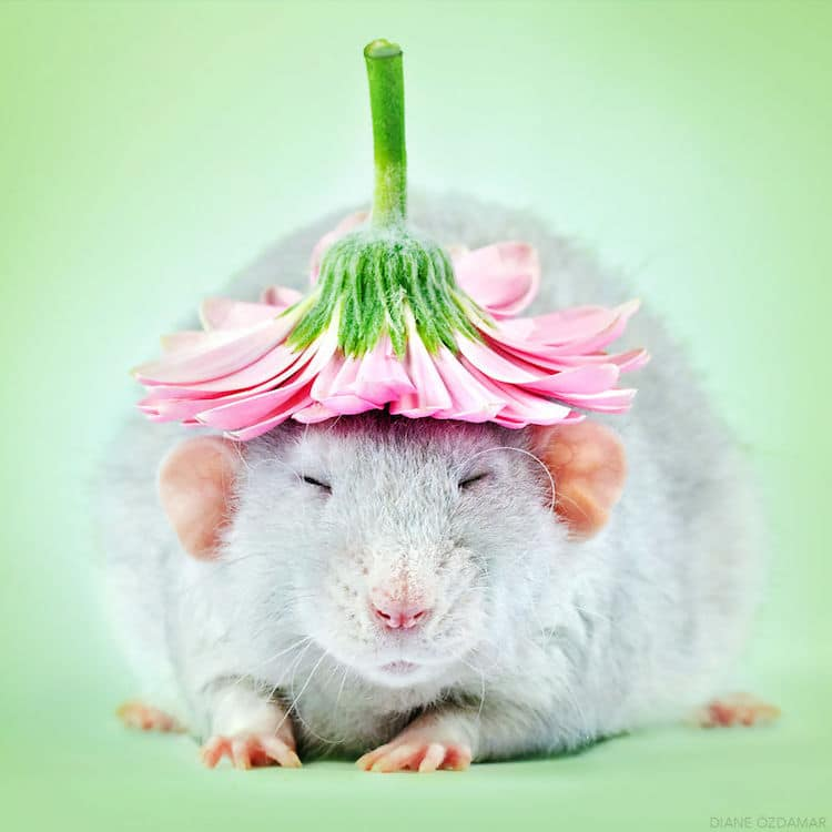 funny fancy rat photos