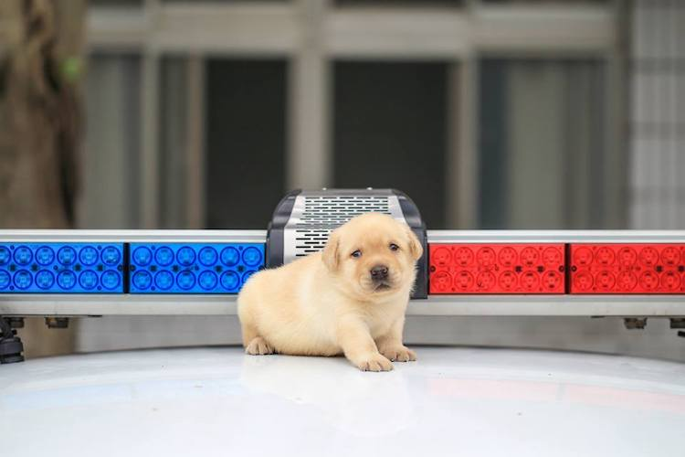 Puppy Police Dog