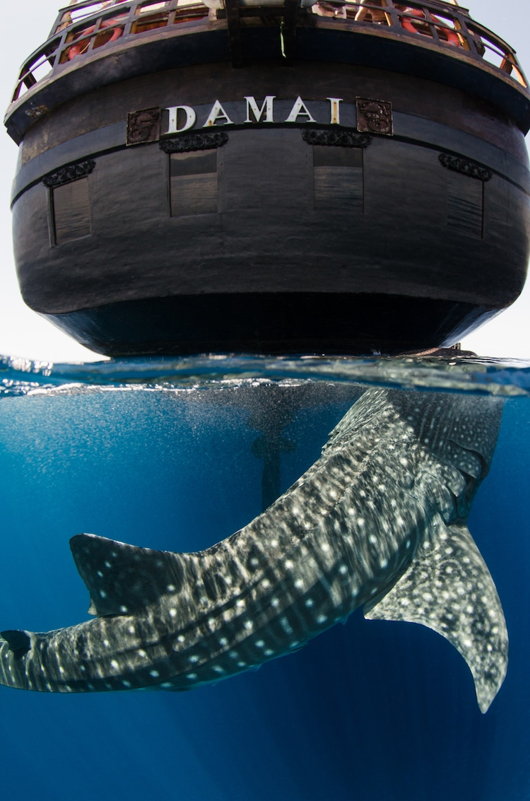 whale shark west papua
