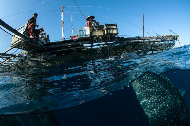 whale shark west papua