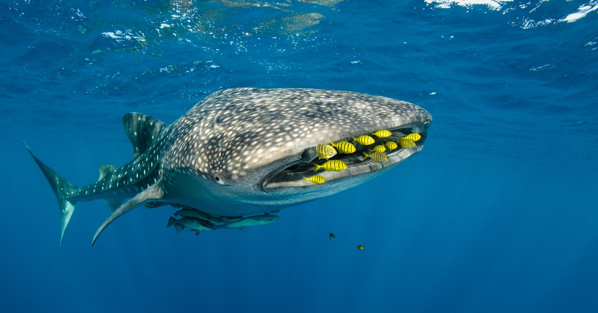 Whale sharks in west papua seen as good luck charms for for Pete s fish and chips owner murdered