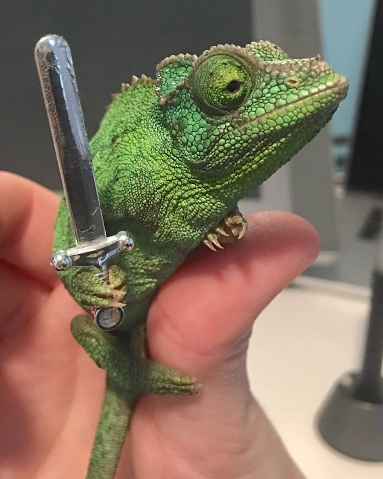 Pet Chameleon Charms the Internet by Holding Tiny Swords