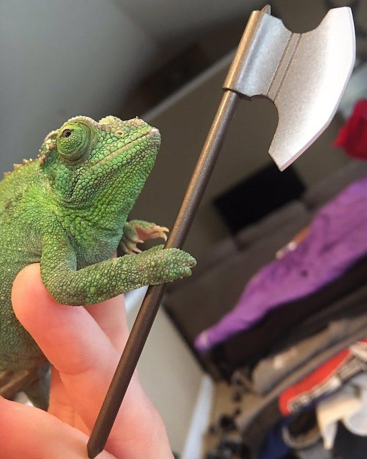 Pet Chameleon Holding Things