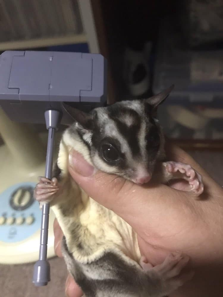 Flying Squirrel Holding Things