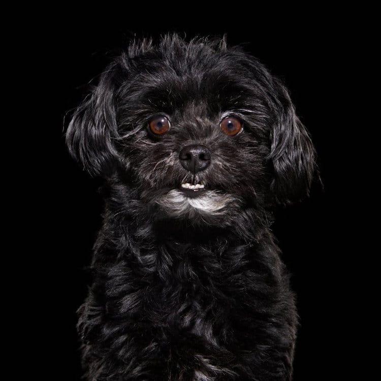 Black Dog Shelter Dog Rescue Dogs Animal Portraits Shaina Fishman