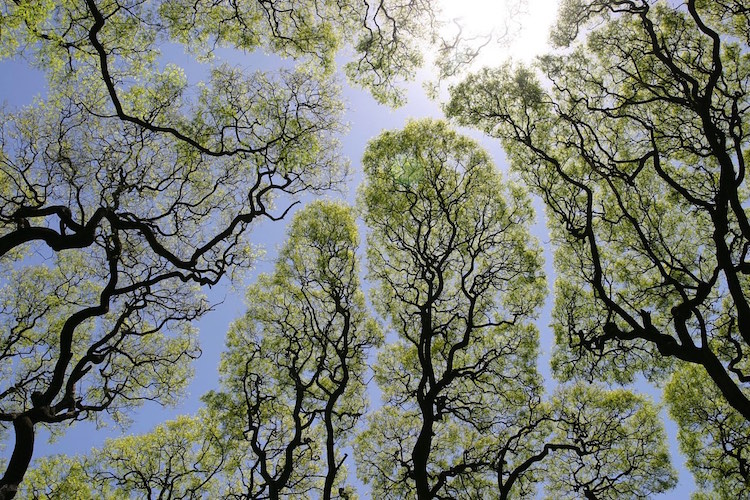 Crown Shyness Tree Photography Tree Canopy