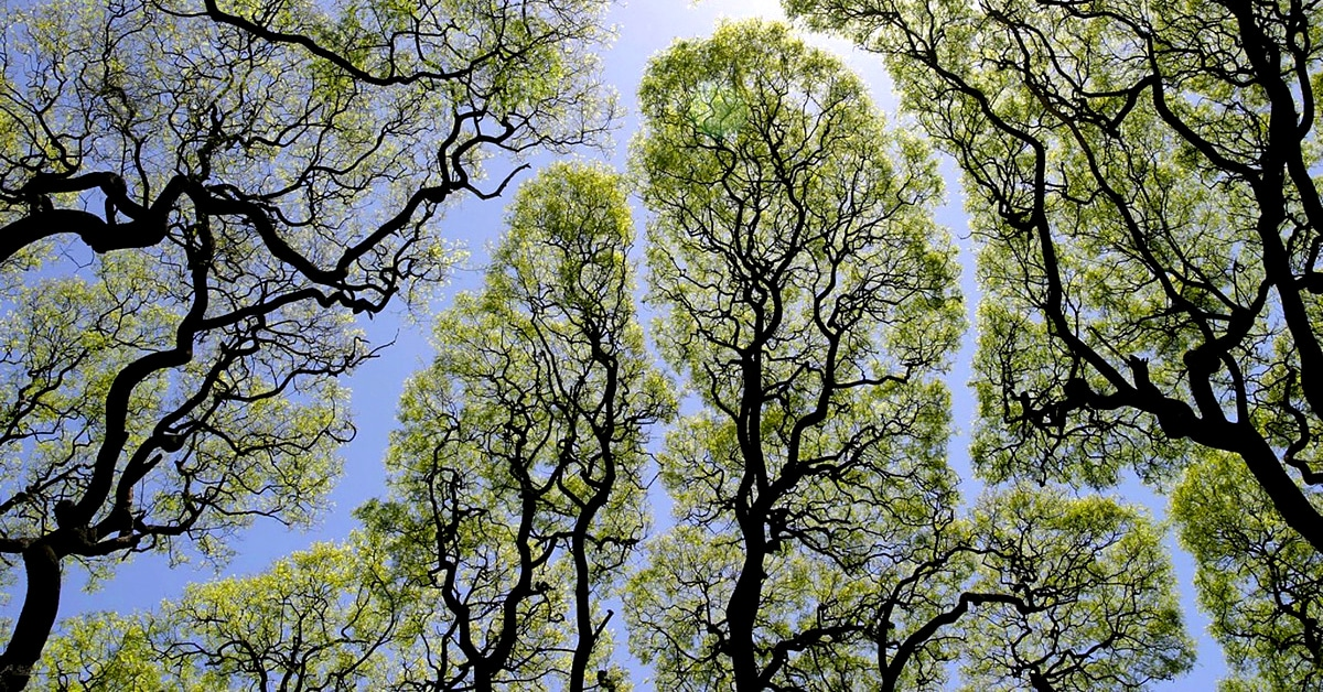 Crown shyness of trees thumbnail