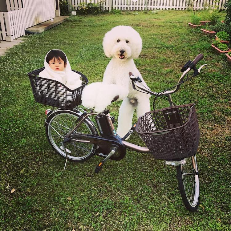 Giant Poodle and 1 Year Old Girl