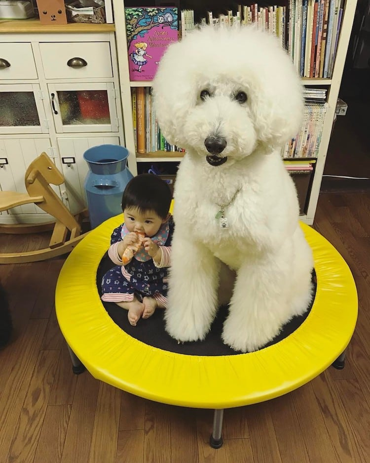 Adorable 1 Year Old Girl And Giant Poodle Are Inseparable