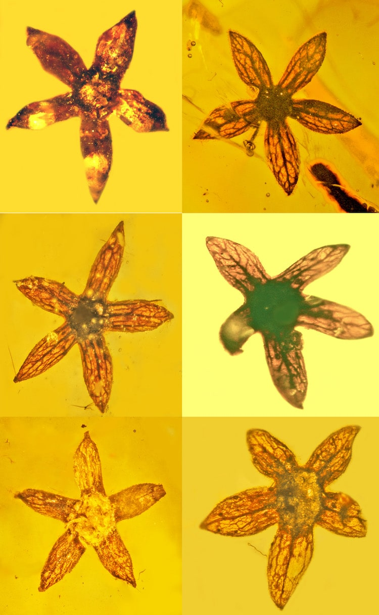 Tropidogyne pentaptera Myanmar Amber Fossil