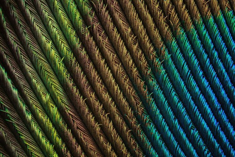 Macro Photos of Peacock Feathers by Can Tunçer