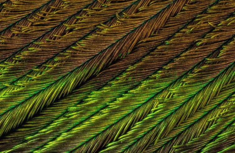 macro photography peacock feathers can tuncer