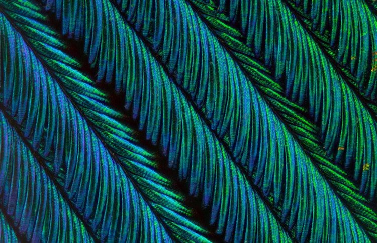 peacock feather macro photography can tuncer