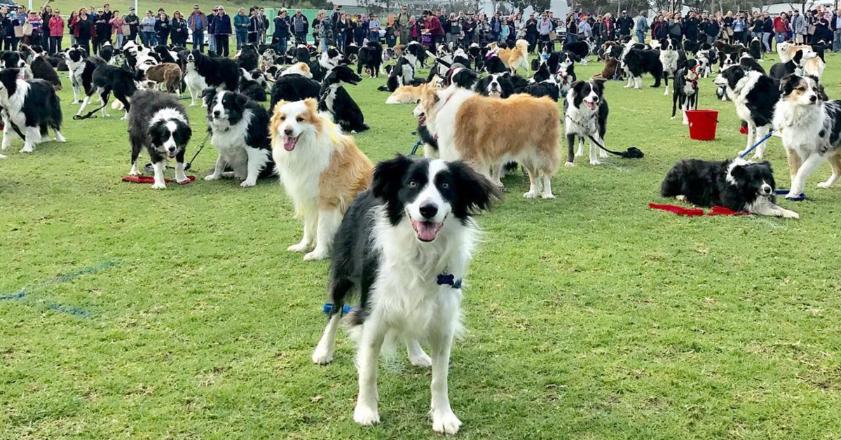 Best Dog Food For  Year Old Border Collie