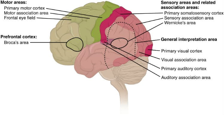 usc-music-brain-study-cortical-areas