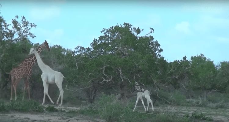 White Giraffe Kenya leucism