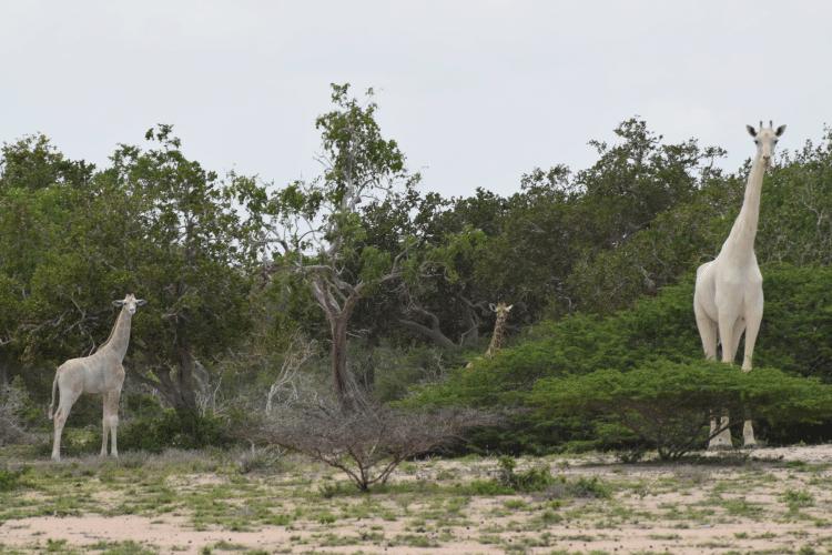 white giraffes leucism