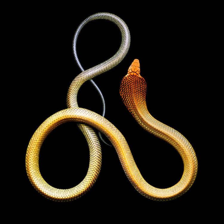 Mark Laita - King cobra