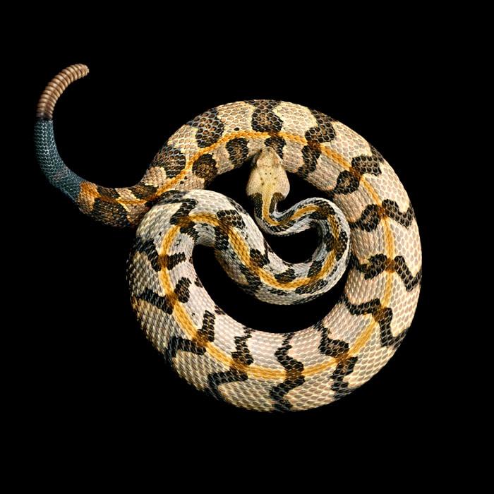 Mark Laita - Southern timber rattlesnake
