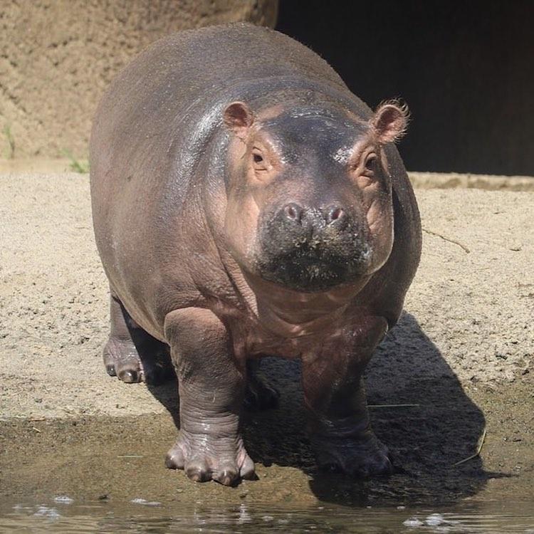 Funny Animal Photobomb Fiona the Hippo