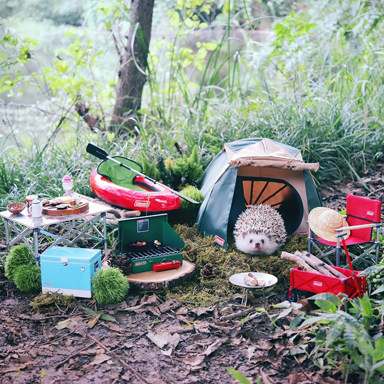 Azuki The Pygmy Hedgehog Packs His Tiny Bags And Goes Camping