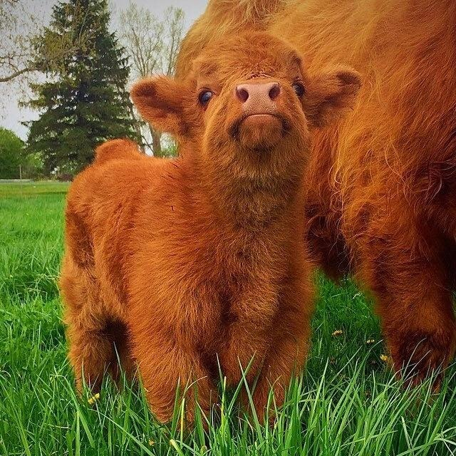 Adorable Highland Cattle Calf
