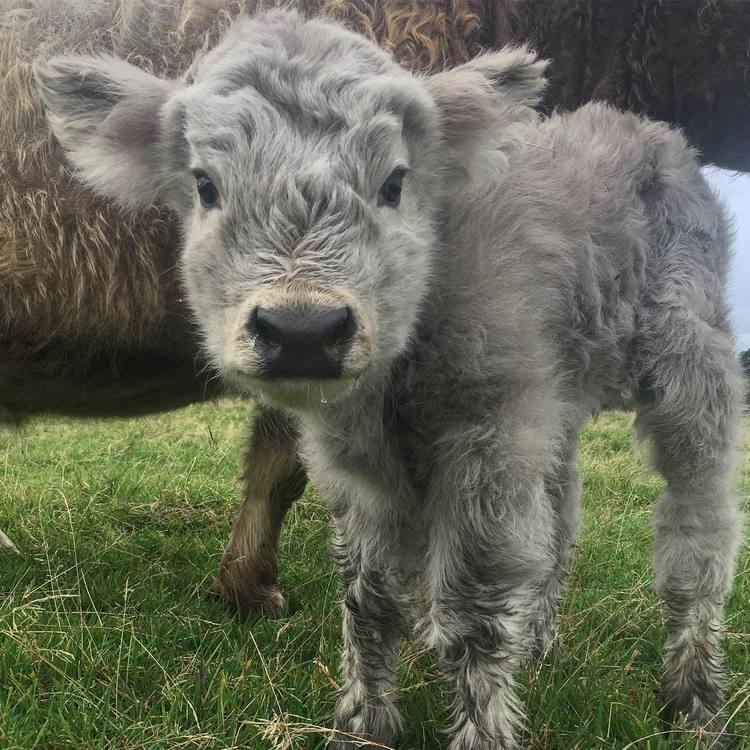 Scottish Highland Cattle Calf