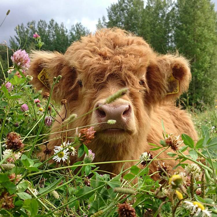 Scottish Highland Cattle Calf
