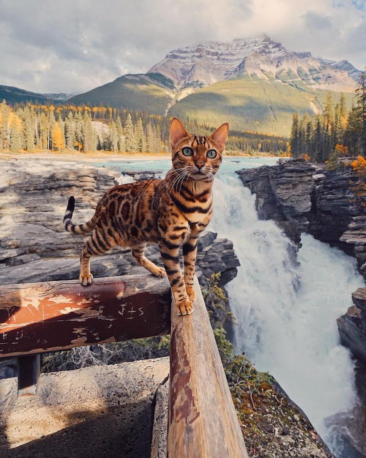 Suki the Bengal Cat