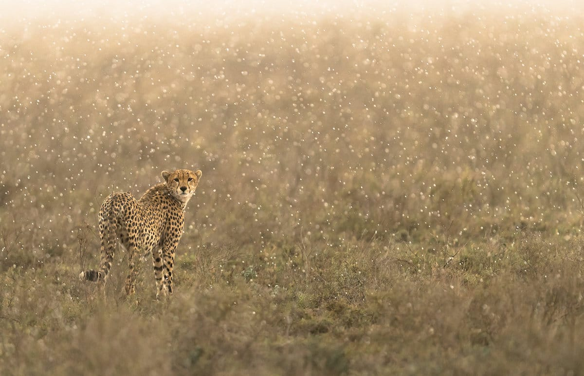 Photograph of a Cheetah in the Rain by George Turner